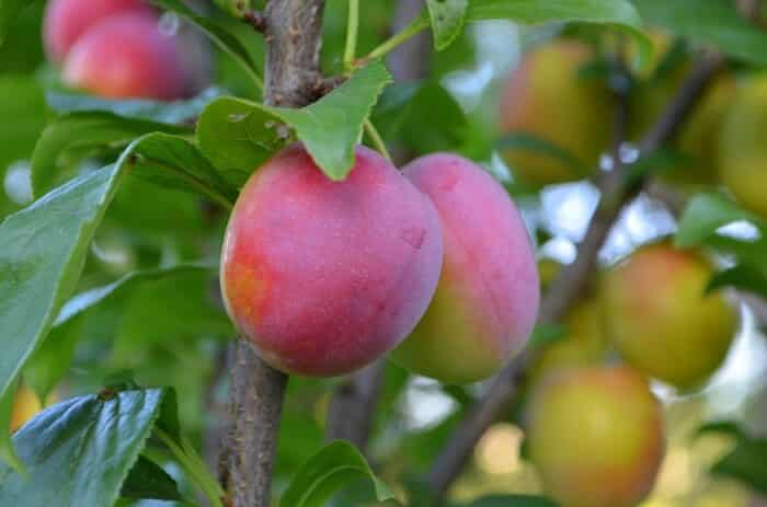 plums in a tree