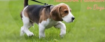 photo of beagle with caption heartworm prevention in dogs
