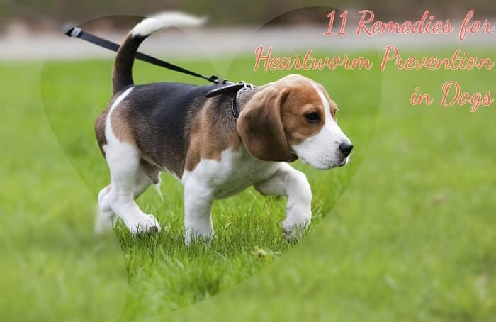 natural heartworm treatment. Photo Of Beagle With Caption Heartworm Prevention In Dogs Natural Treatment
