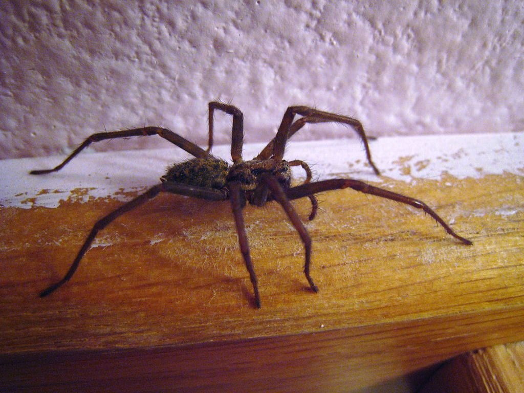 Diy Natural Spider Repellent For Home Home Remedies