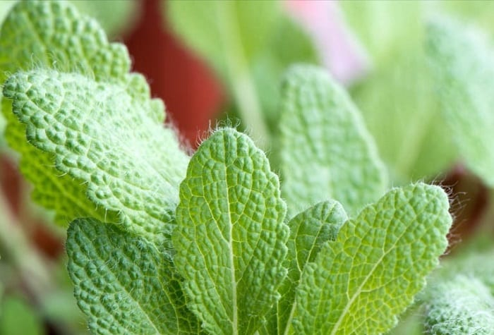 clary sage leaves