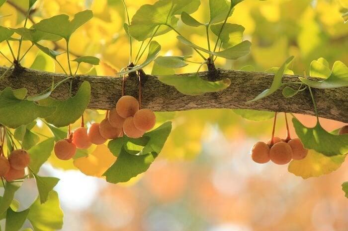 ginko biloba tree