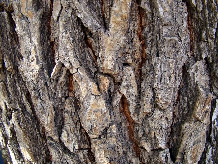 picture of pine bark