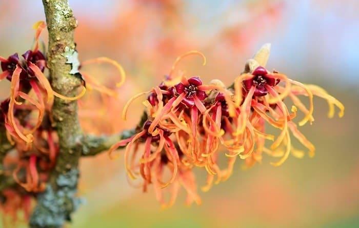 witch hazel flowers
