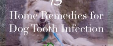 dog chewing on toothbrush caption home rmeedies for dog tooth infection