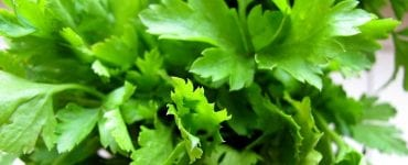 health benefits of parsley in fresh green leaves