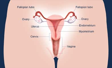 sketch of the menstruation process