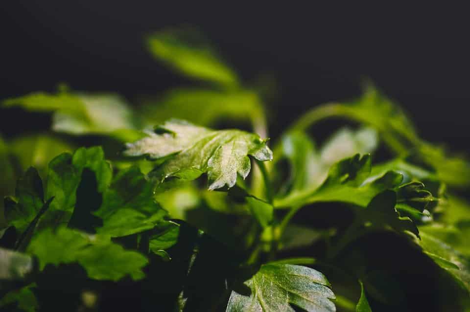 health benefits of parsley in fresh leaves