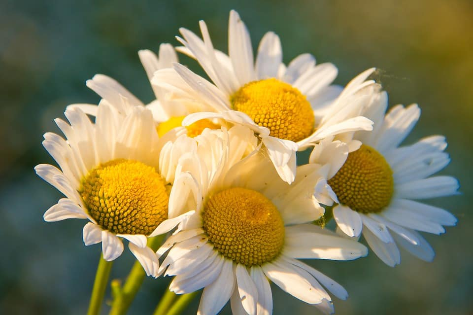 chamomile flowers in home remedies for shingles