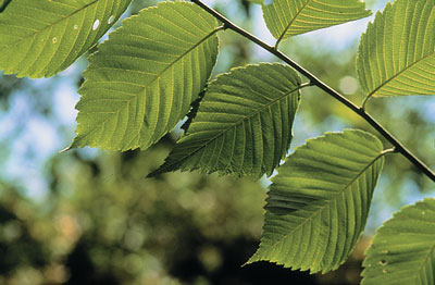 slippery elm leaves as strep throat treatment
