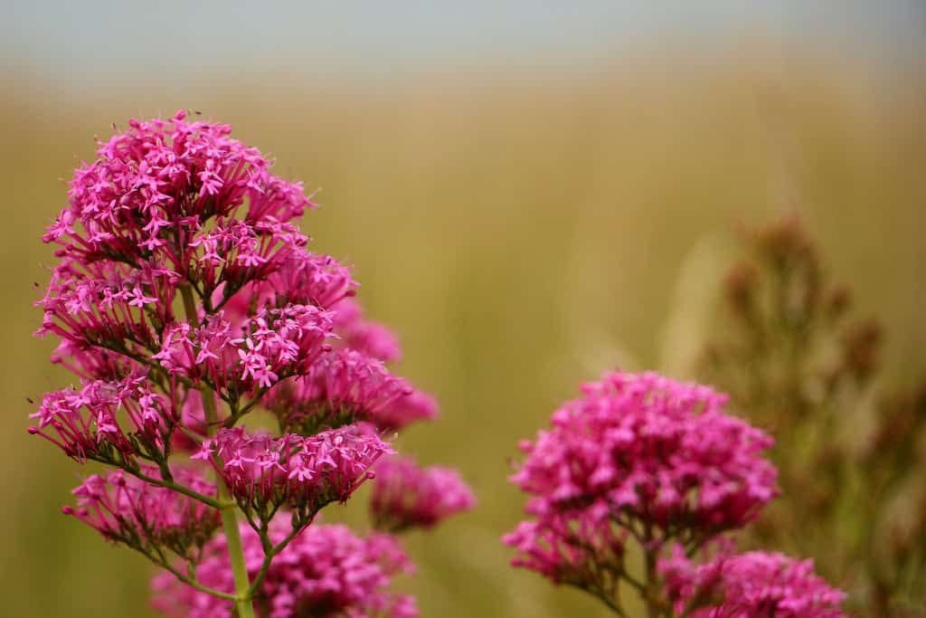 valerian flowers are home remedies for hives
