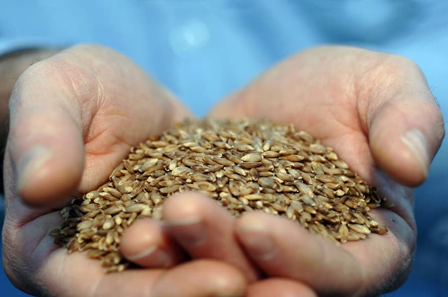 Barley in a hand benefits of barley