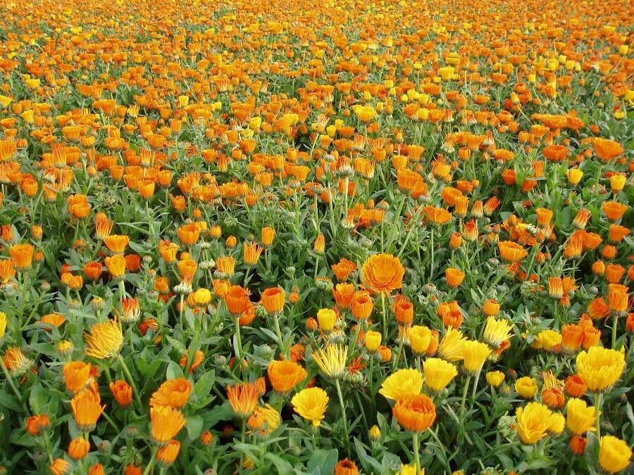 Calendula Flowers belly button pain