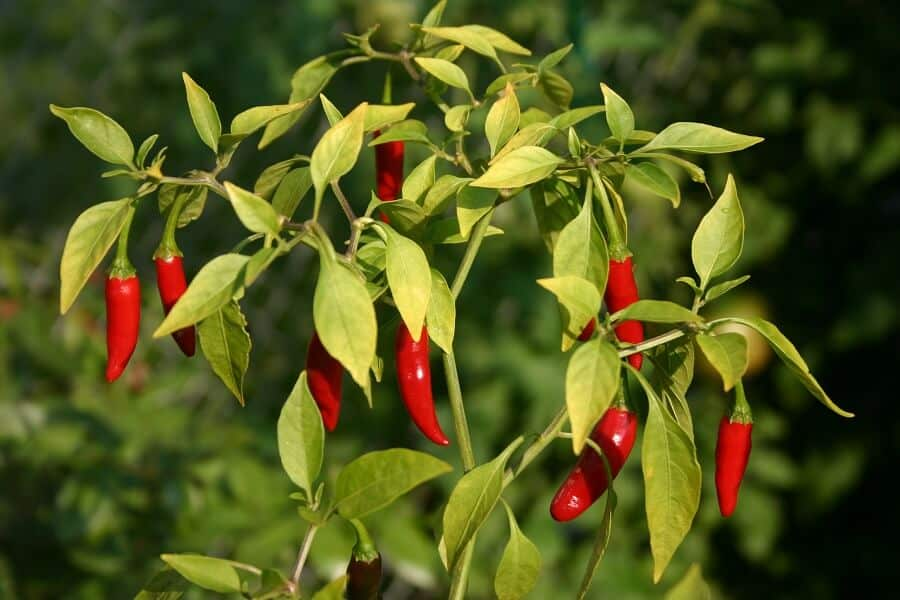 Chili Peppers dry nasal passages