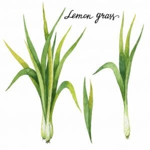 Hand drawn watercolor botanical illustration of Lemon grass. Healing Herbs for design of natural food, kitchen, market, menu.
