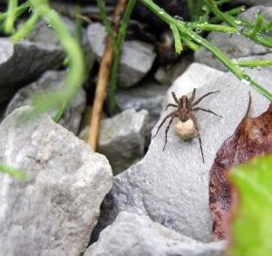 Araignée-loup femelle avec cocon sur une pierre grise humide après la pluie &quot;width =&quot; 300 &quot;height =&quot; 282 &quot;/&gt; <strong> Acide borique</strong></span> </h3><p>Si vous vous demandez comment tuer les araignées-loups, l'acide borique est un pesticide naturel pour les araignées-loups qui tue les insectes qui le digèrent en attaquant leur système nerveux. L&#39;acide borique est toxique pour les personnes et les animaux de compagnie en grande quantité, cependant, vous voudrez peut-être éviter cette option si vous avez des animaux de compagnie ou des enfants en bas âge.</p><p>Pour les ménages sans enfants ni animaux curieux, saupoudrez de l&#39;acide borique derrière les appareils électroménagers, autour des plinthes et dans les coins et les placards des armoires. Appliquez uniquement une fine couche de poudre et veillez à ne pas l&#39;appliquer dans les zones de préparation ou de service des aliments. Cette méthode est l'un des meilleurs moyens de se débarrasser des araignées-loups dans le sous-sol.</p><h3> <strong>Spray araignée menthe poivrée</strong></h3><p><span style=