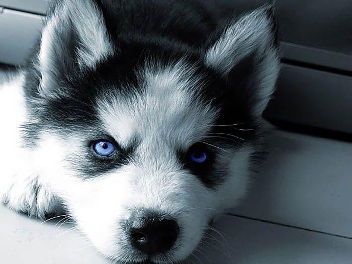 """""""husky puppy"""""""