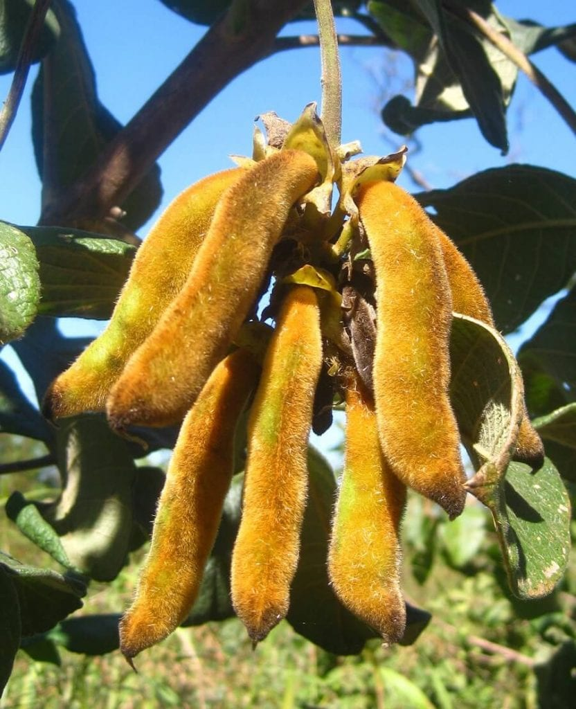 Mucuna Pruriens in Sleep Supplements