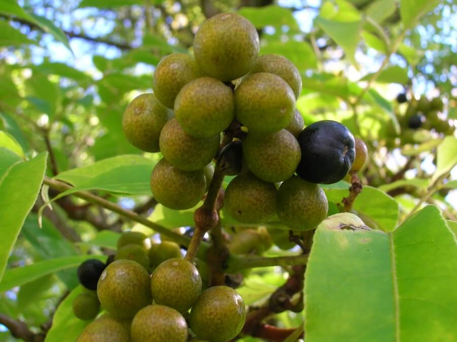 Phellodendron ingredient in Sleep Supplements
