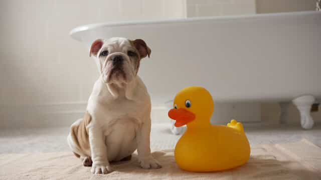 Picture_2-Happy-puppy-in-bathroom-with-rubber-ducky