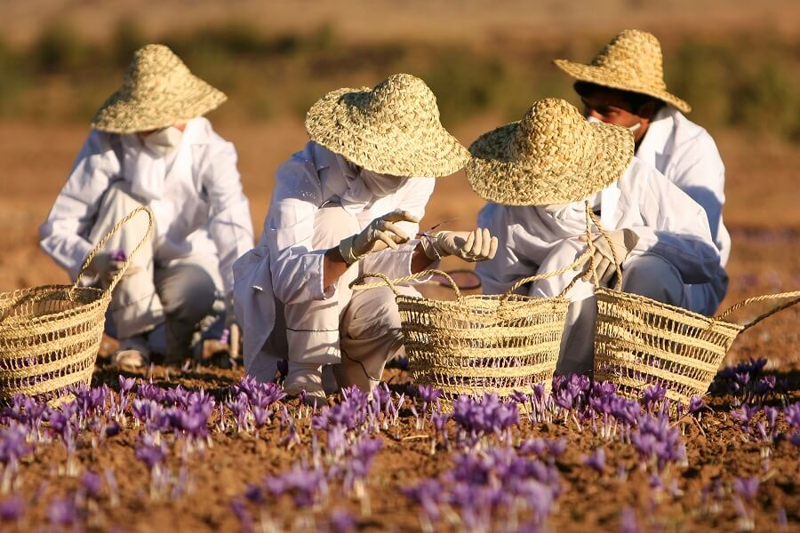 Harvesting the spice for the saffron extract supplement