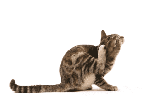 Effective Natural Flea Treatment For Cats