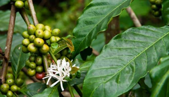 green-coffee-plant