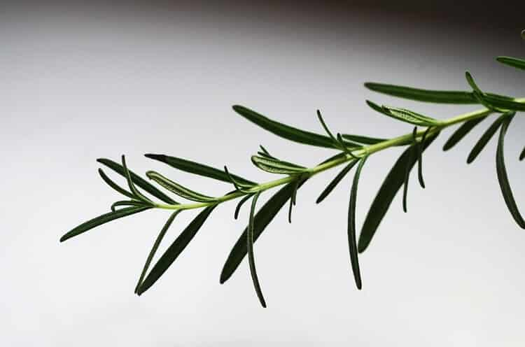 thin branch of rosemary